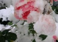 Frostad ros