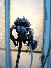 Frostknopp